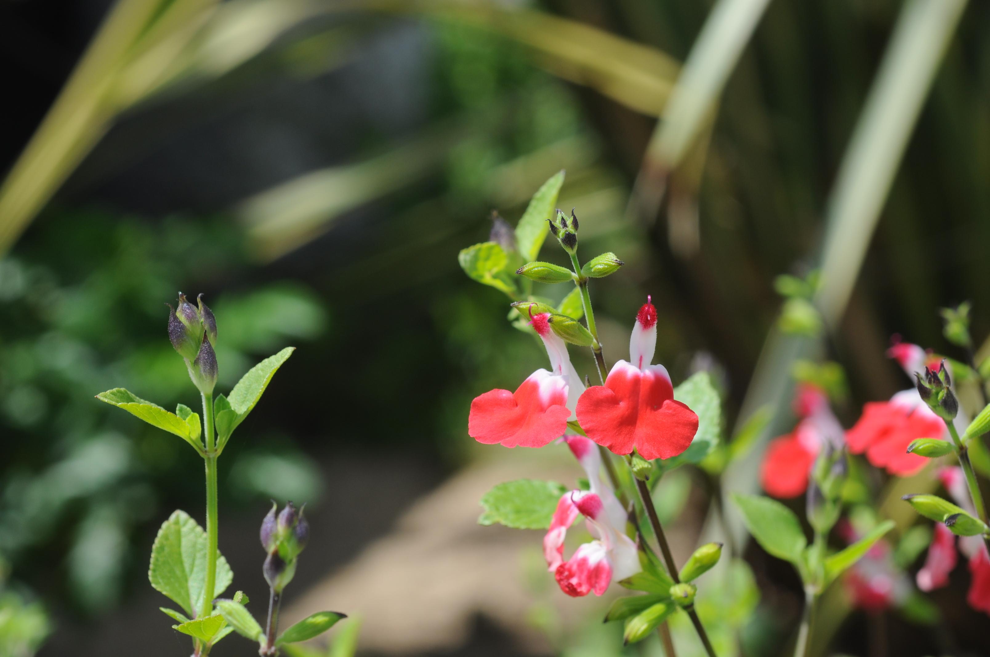 櫻桃鼠尾草