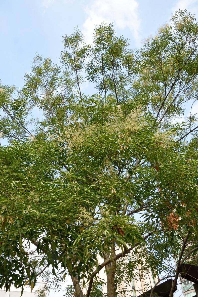 光蠟樹 - 照片6