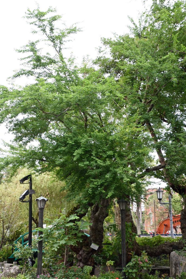 金龜樹 - 照片3