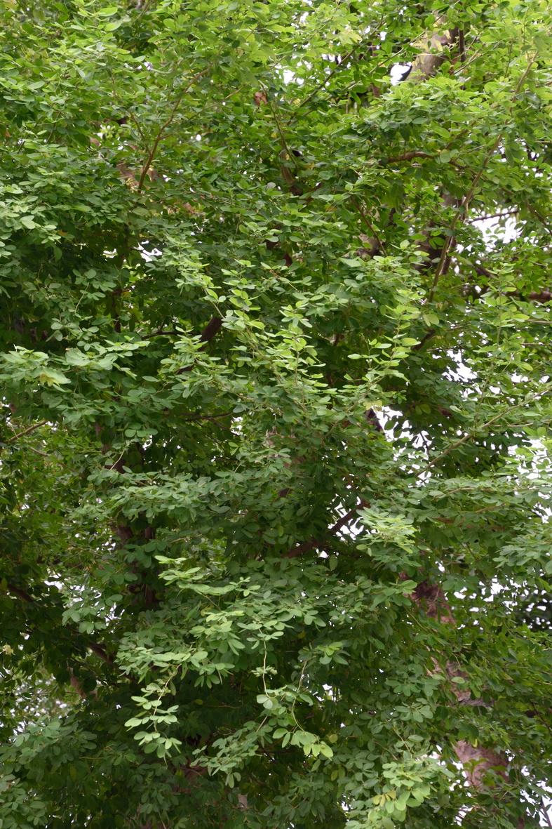 金龜樹 - 照片4