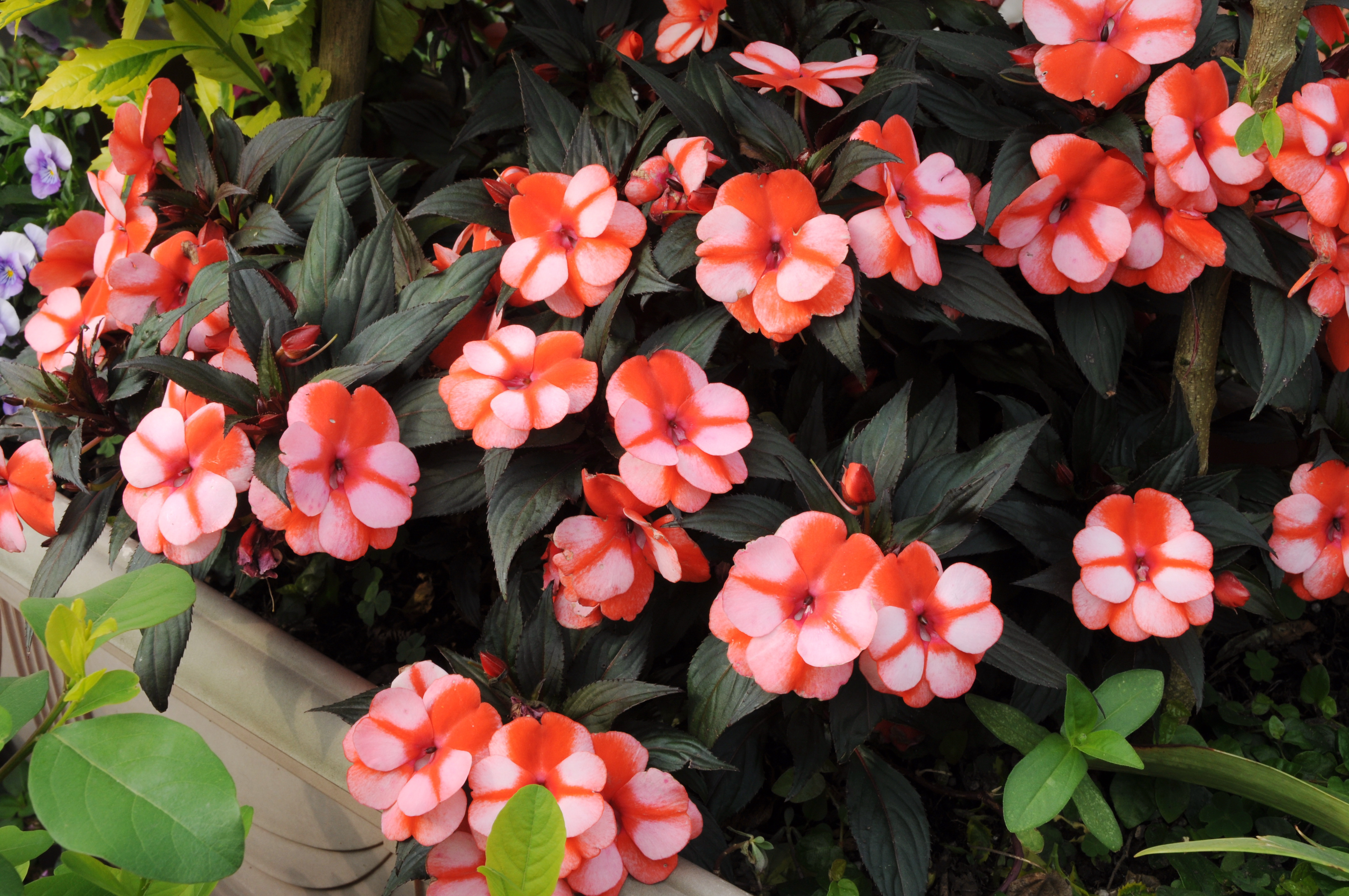 新幾內亞鳳仙花