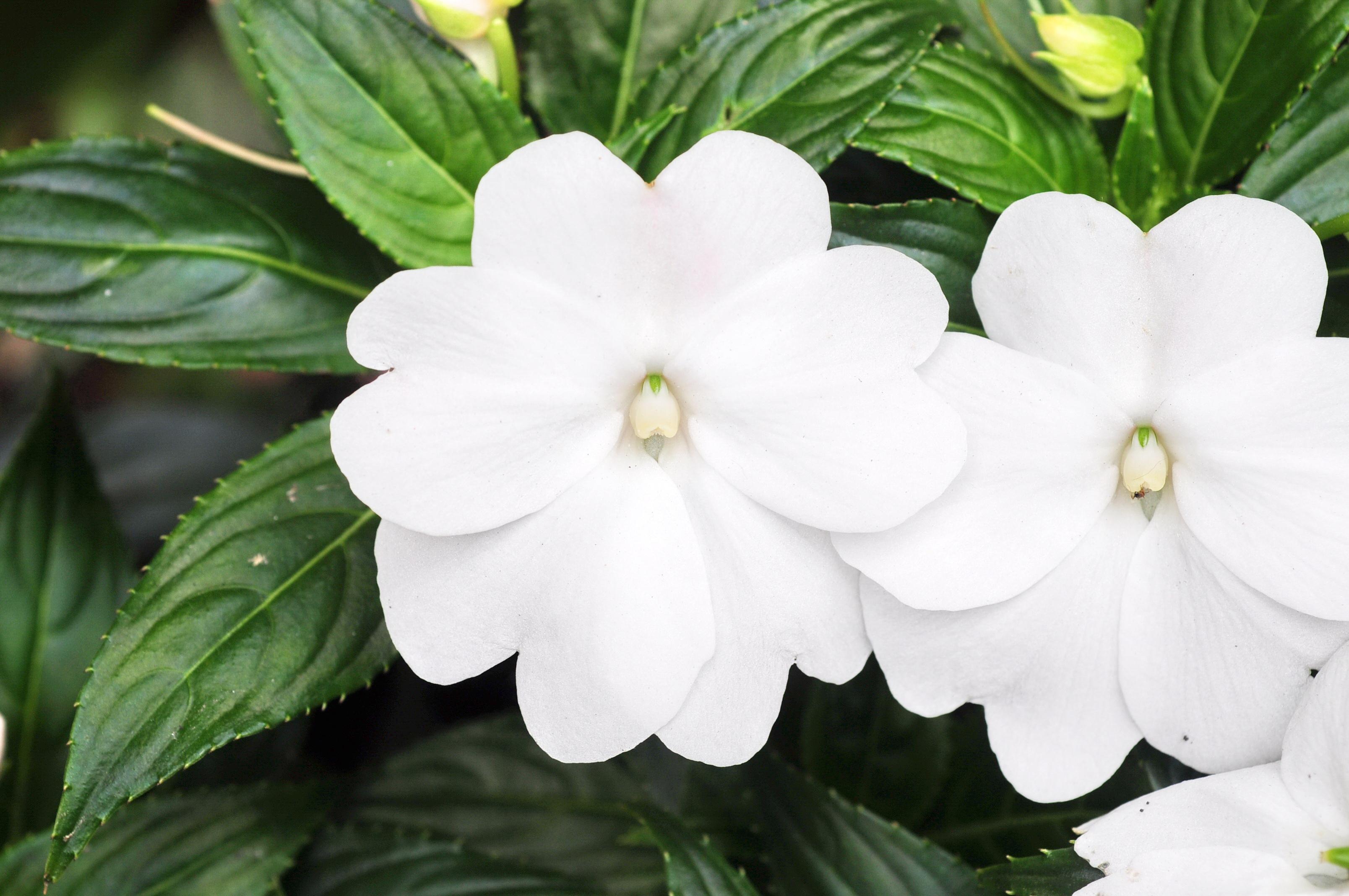 新幾內亞鳳仙花 - 照片1