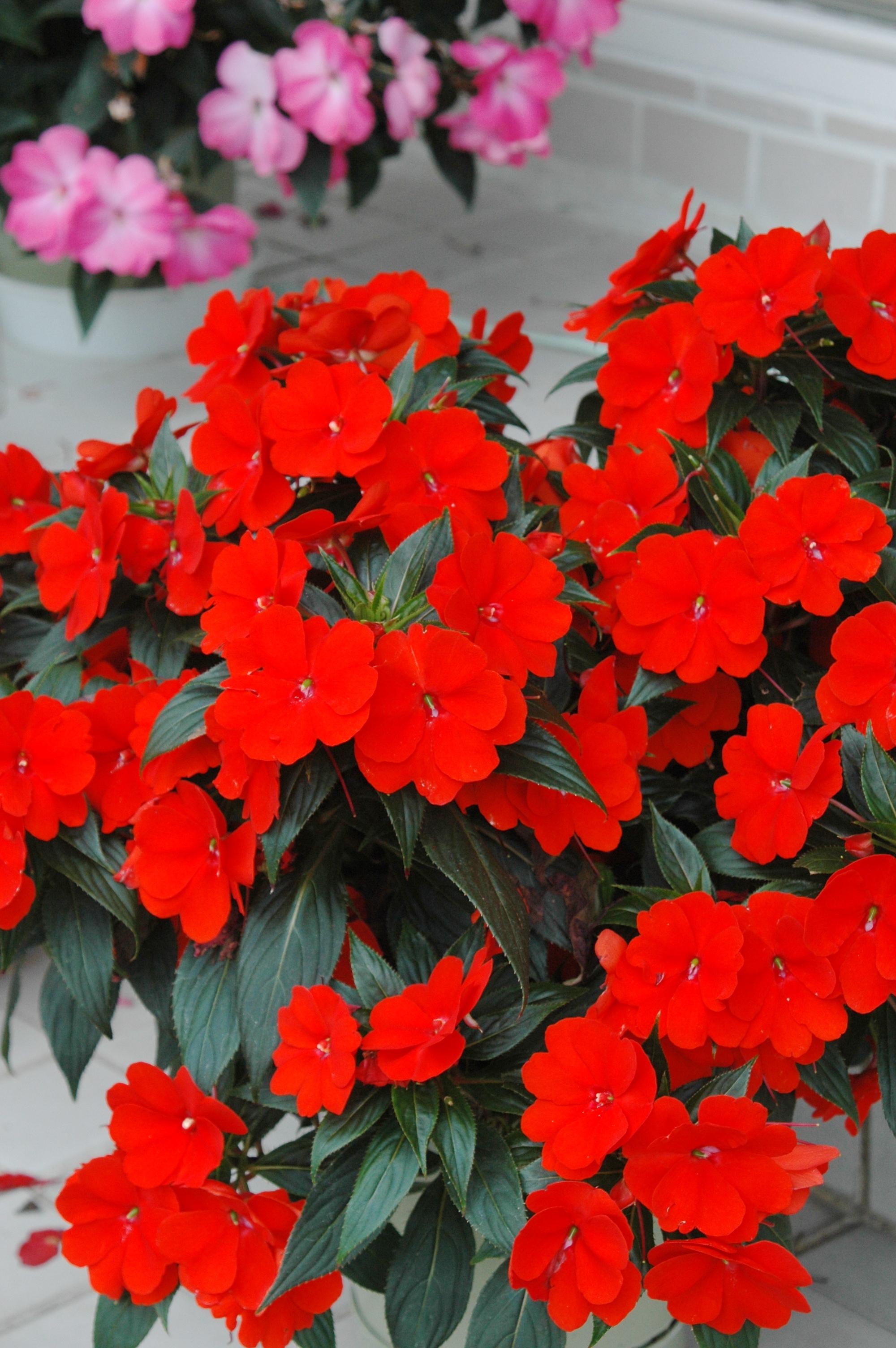 新幾內亞鳳仙花 - 照片2