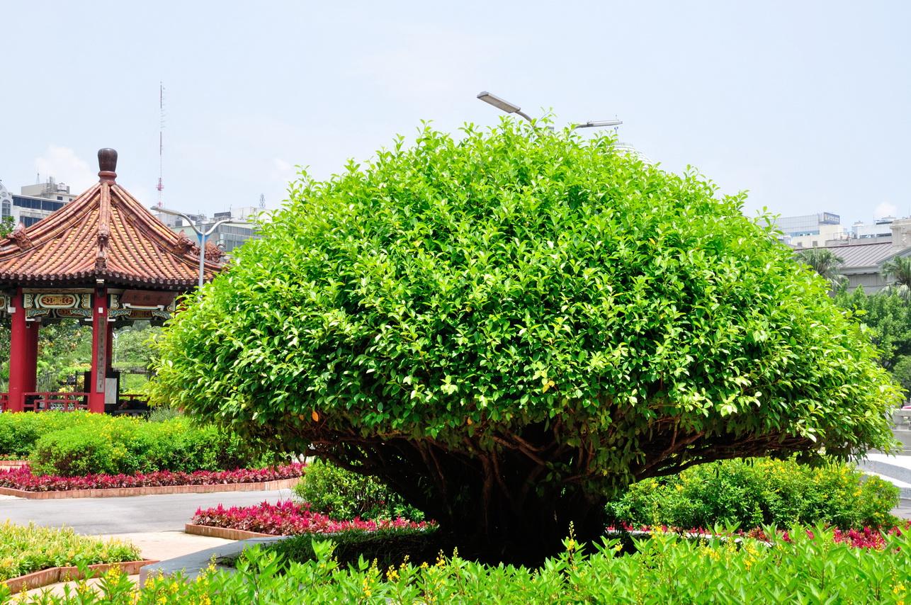 榕樹 - 照片2