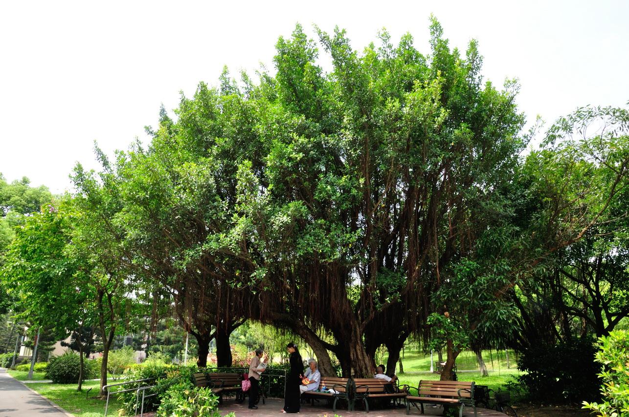 榕樹 - 照片4