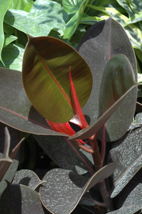 印度橡膠樹 - 照片1