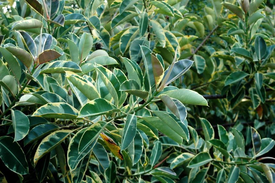 印度橡膠樹 - 照片3