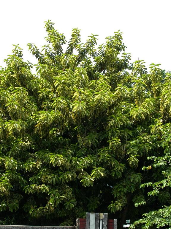 印度橡膠樹 - 照片5