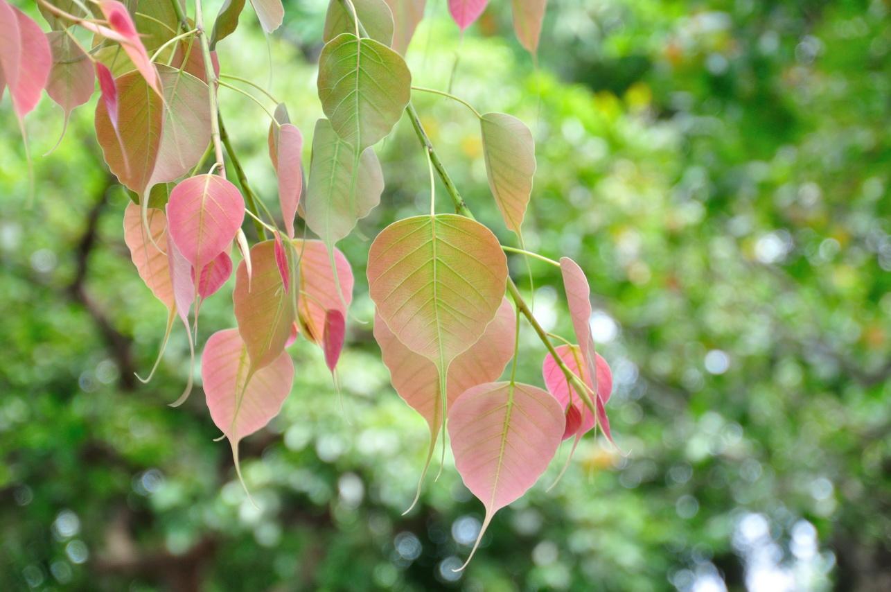 菩提樹 - 照片2