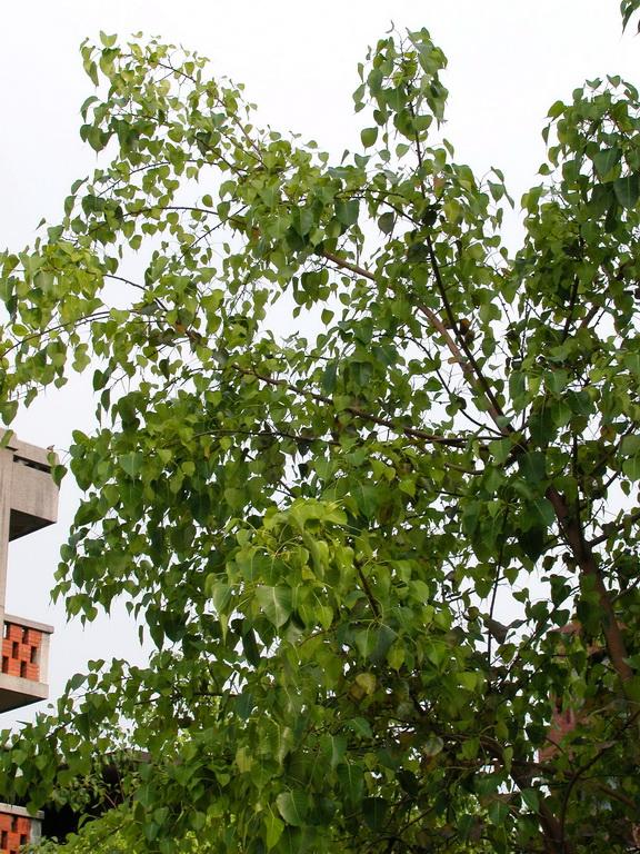 菩提樹 - 照片4