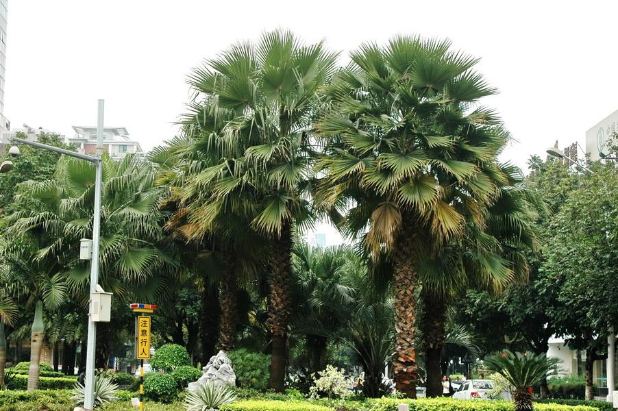 華盛頓椰子 - 照片1