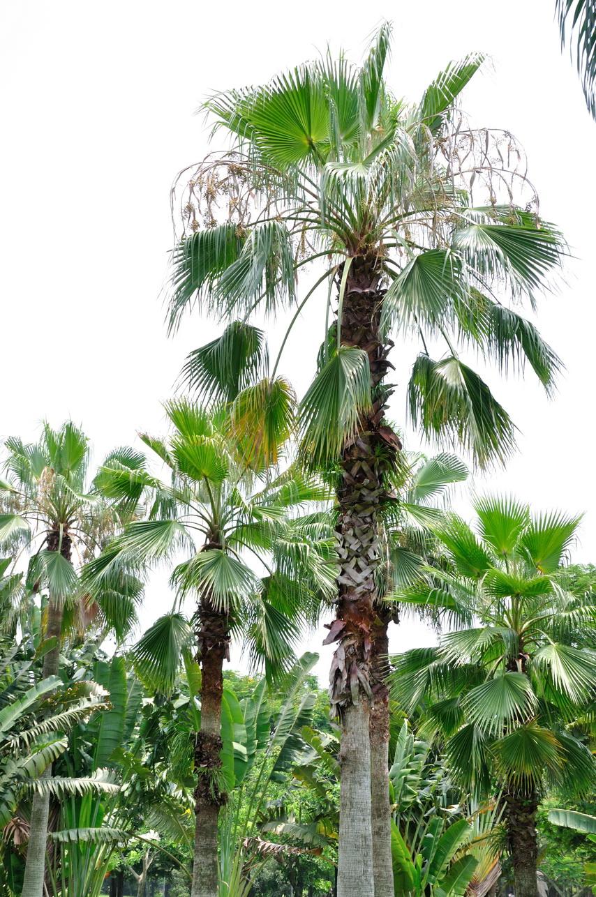 華盛頓椰子 - 照片2