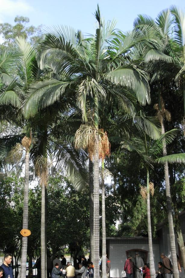 亞歷山大椰子