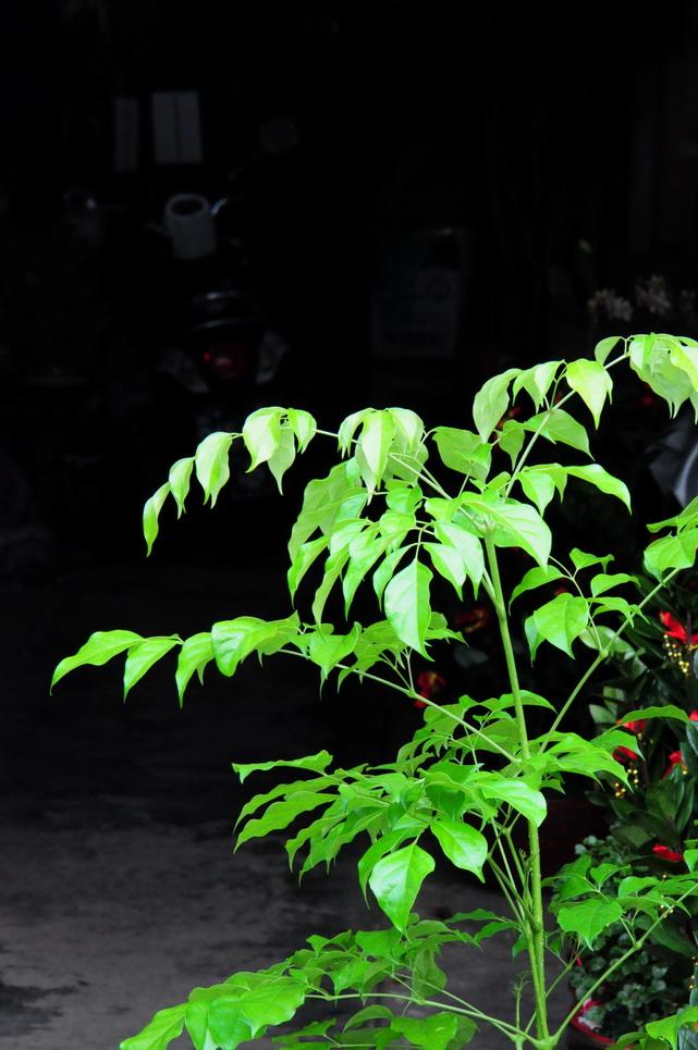 海南山菜豆